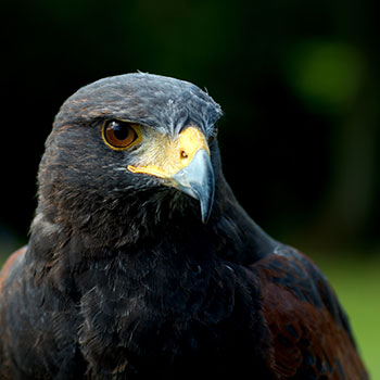 Falconry | Hawking | Bird of Prey | Hunting | Scotland | Bliss Magazine Online | Dalhousie Castle | King Edward III | Goshawk | Peregrine Falcon | Harris Hawk | Steppe Eagle